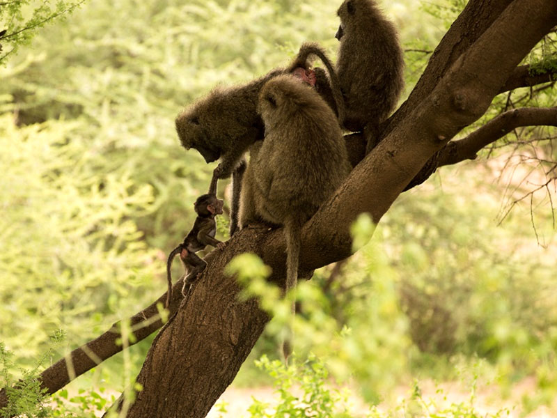 קופים גדולים מחנכים קוף קטנטנן, שממה שנאמר לנו רק בן כמה ימים בודדים!